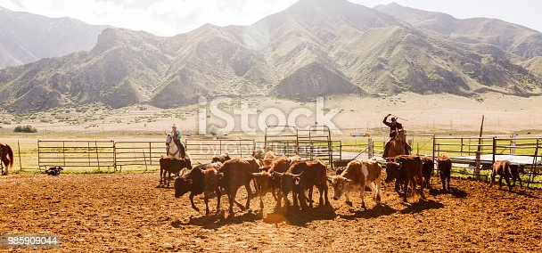 Cow cattle veal roping herding at santaquin valley of Salt lake City SLC Utah USA