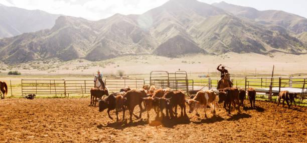 Kuh Rind Kalb roping hüten an Santaquin Tal von Salt Lake City SLC Utah USA – Foto