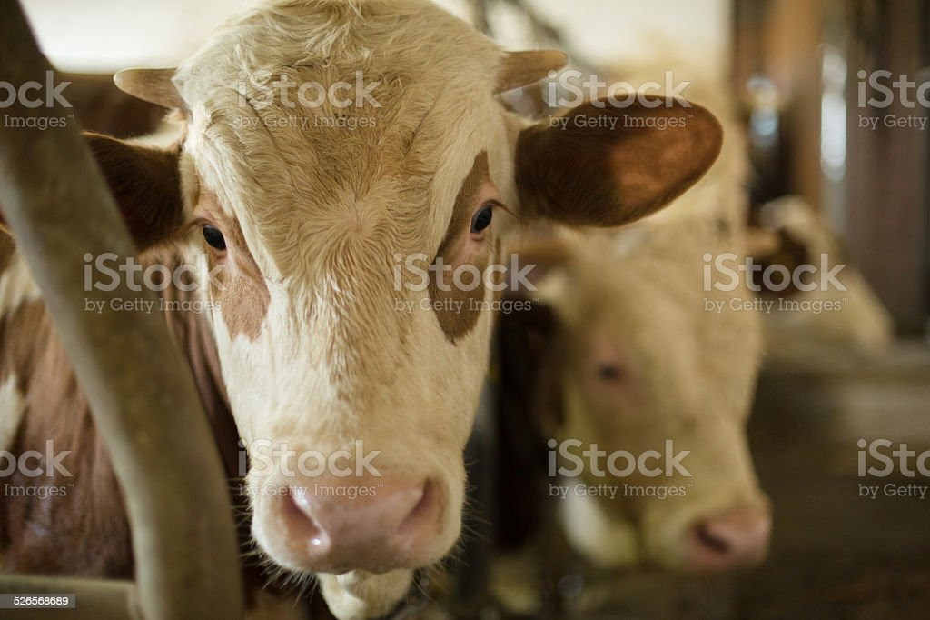 Cow closeup in stable stock photo