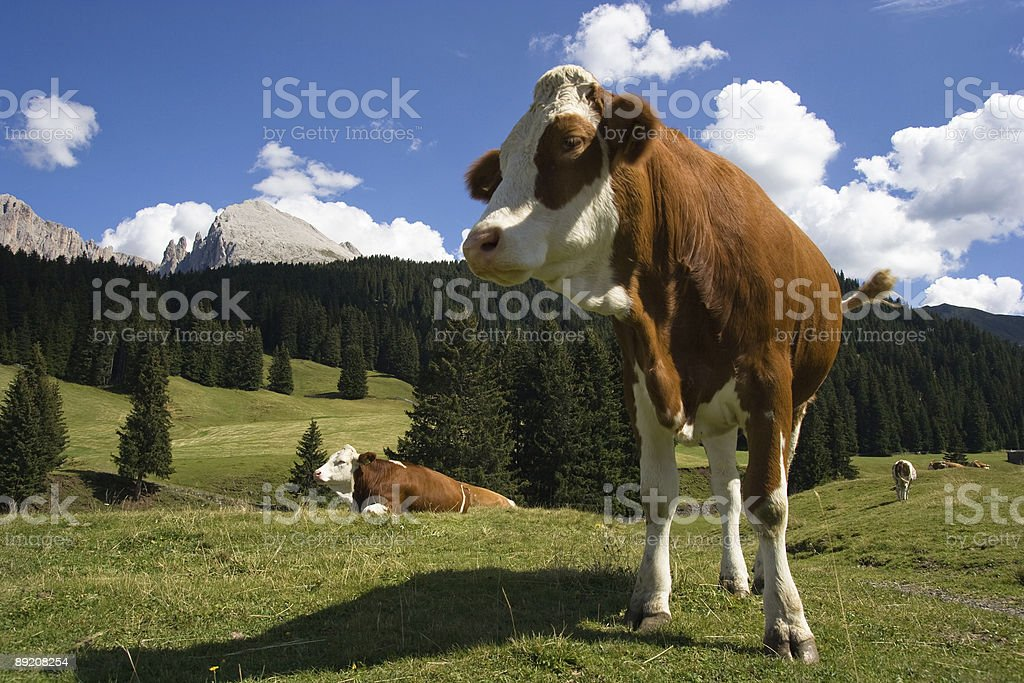 Cow Closeup on Mountain - Dolomiti, Italian Alps royalty-free stock photo