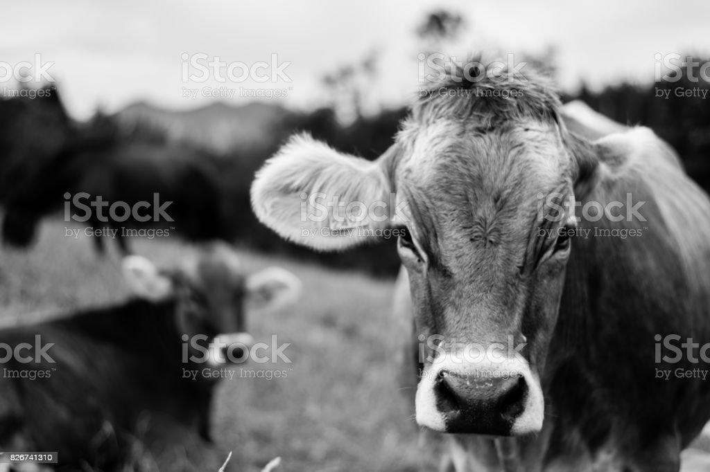 Cow Close-up stock photo