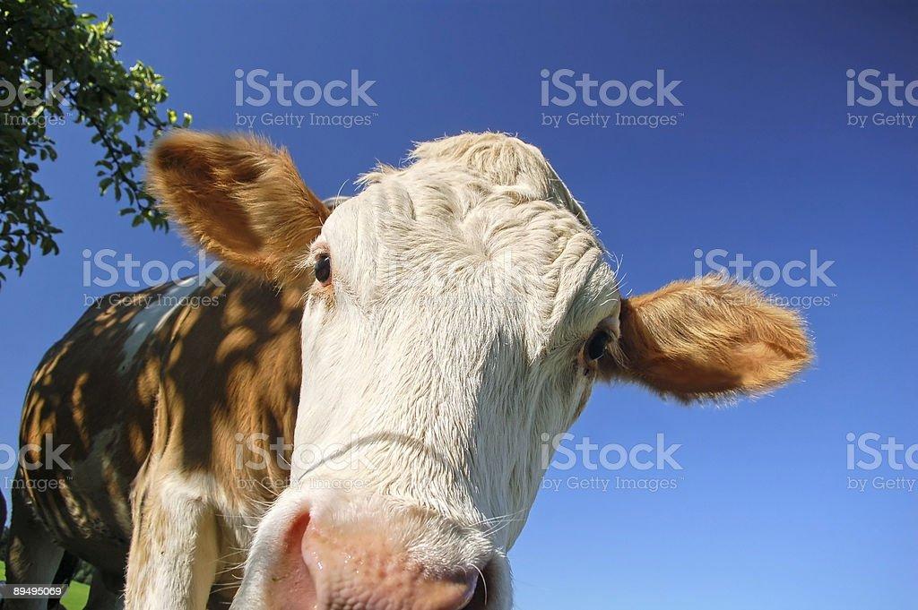Krowa, zbliżenie zbiór zdjęć royalty-free