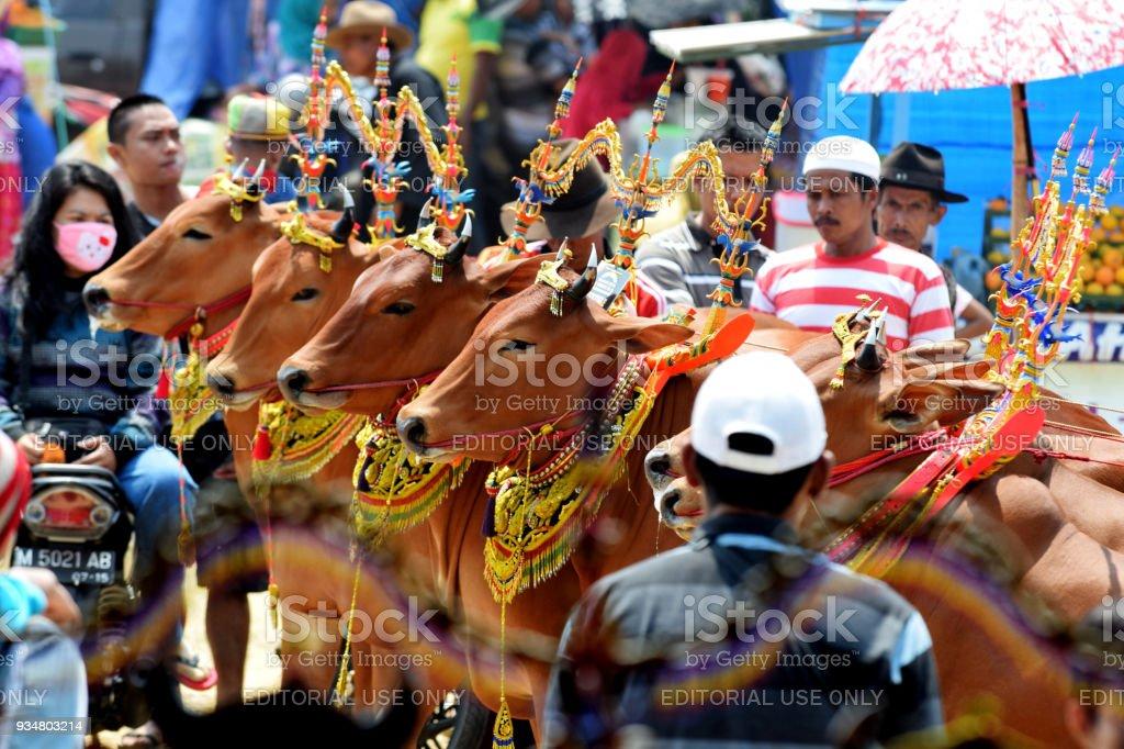 암소 경연 대회 - 로열티 프리 가축 스톡 사진