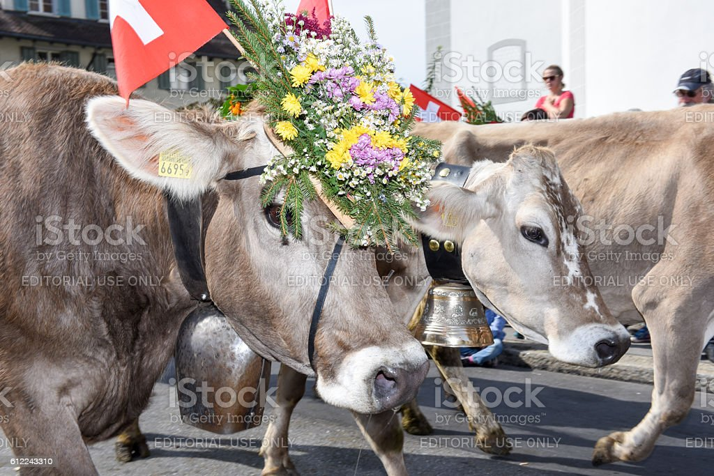 Cow decorated with flowers and flags – Foto