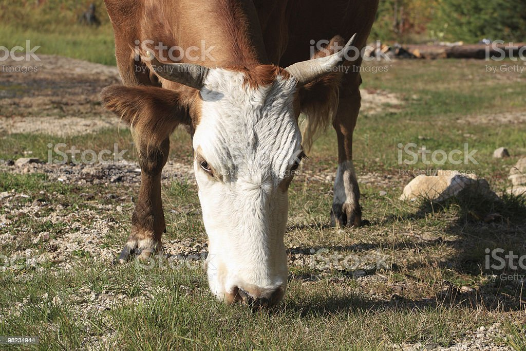 Cow eat the grass royalty-free stock photo