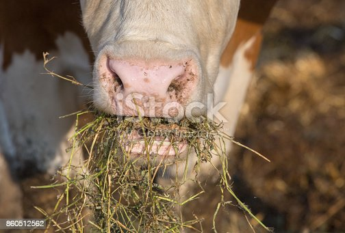 Close up of cow's face eating fodder on farm