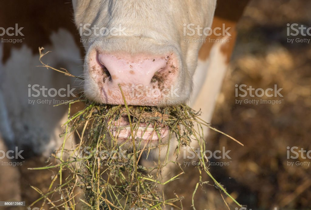 Cow eating fodder stock photo