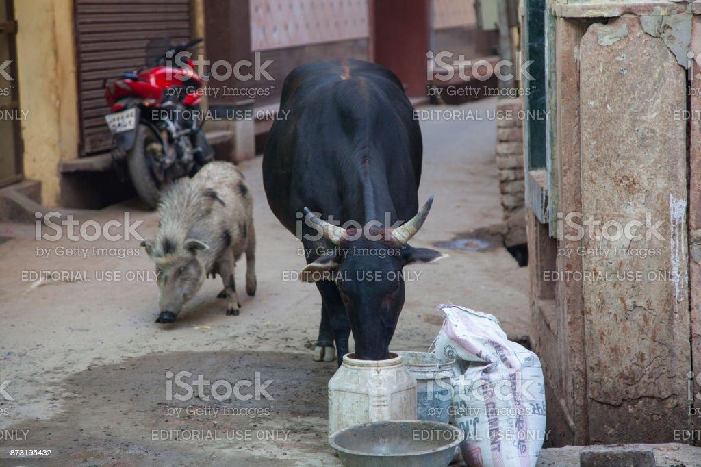 Cow eating garbage on the street. Vrindavan, India stock photo