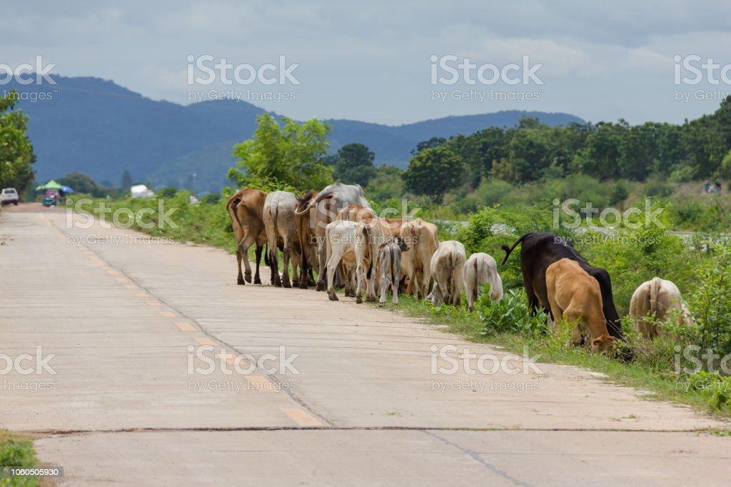 cow eating grass rim stock photo