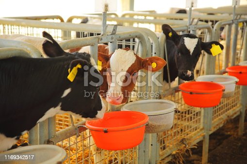 Cow eating in a milk production farm