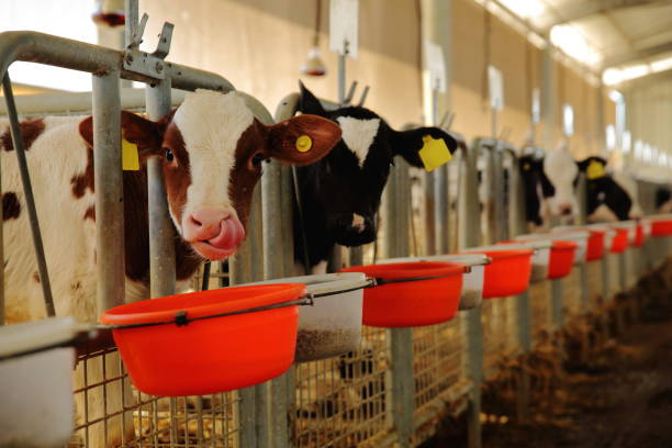 Cow eating in a milk production farm stock photo