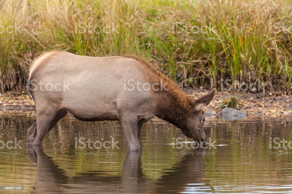 Cow Elk Drinking royalty-free stock photo