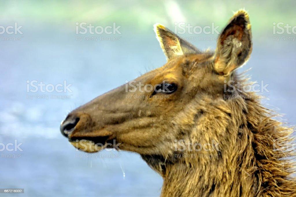 Cow elk head closeup royalty-free stock photo