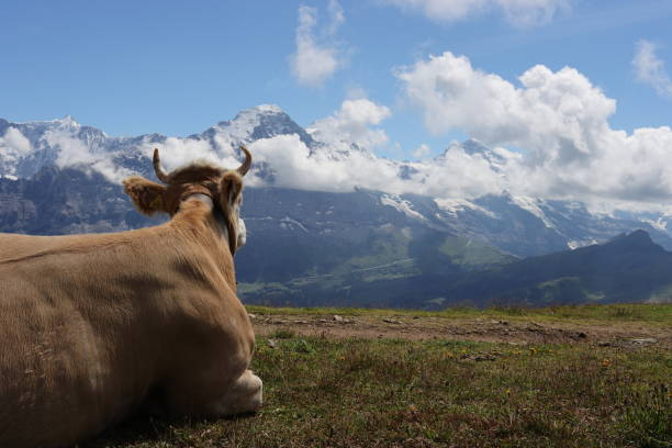 Cow enjoying the view on the Alps. stock photo