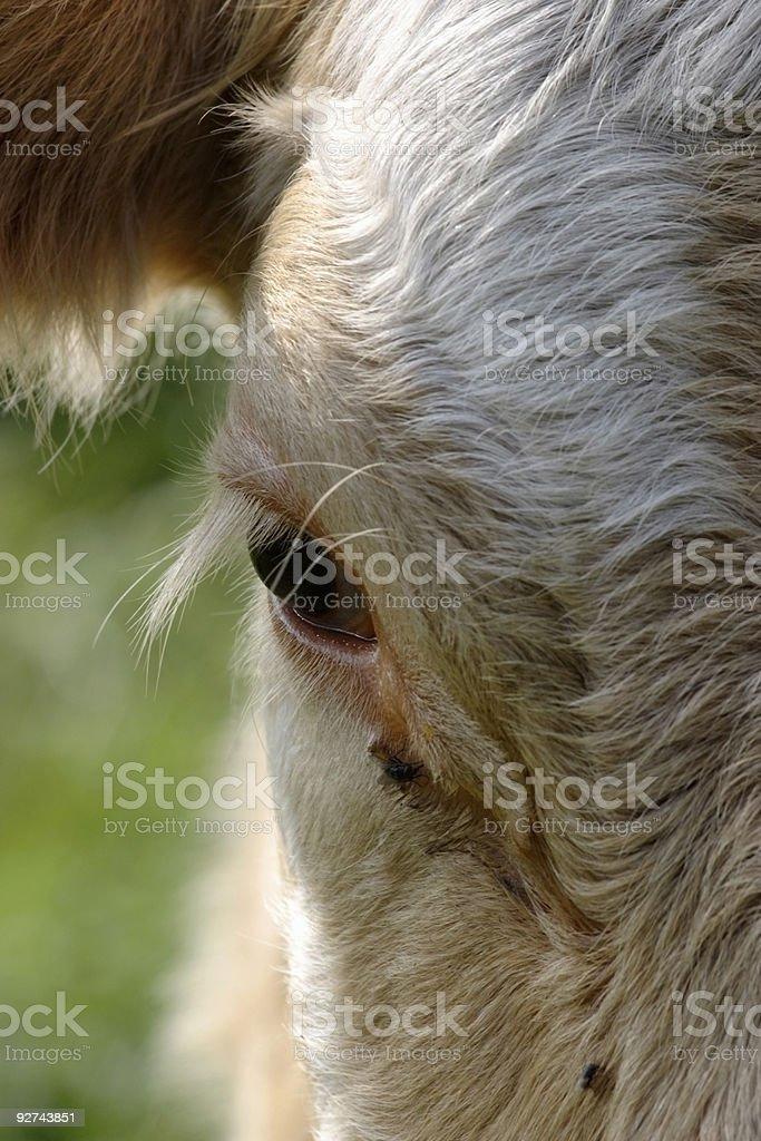 Cow eye Lizenzfreies stock-foto