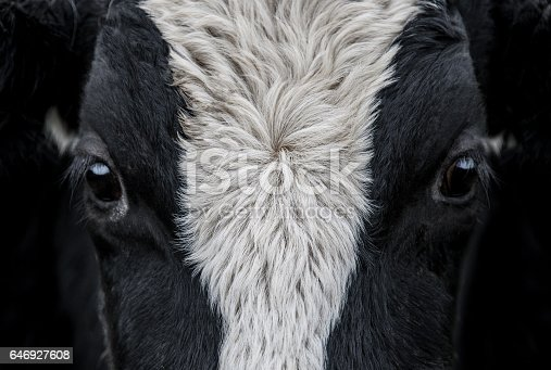 A close up of a Cow face