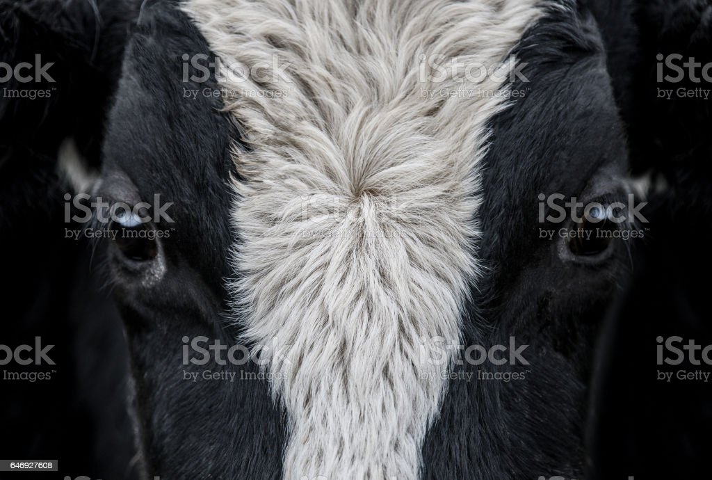 Cow, face close up stock photo