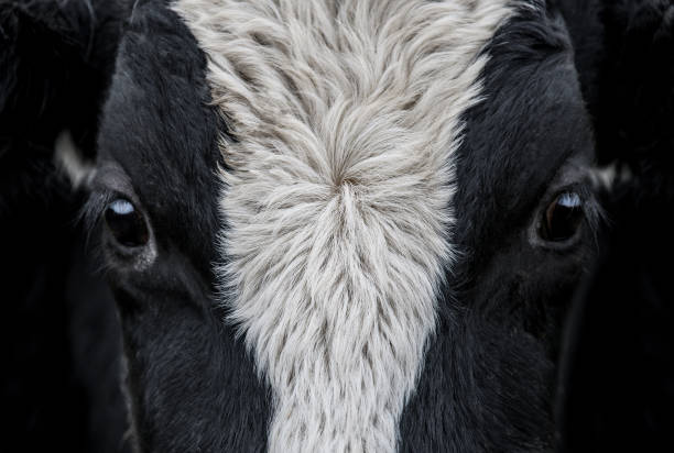 Cow, face close up A close up of a Cow face dairy cattle stock pictures, royalty-free photos & images