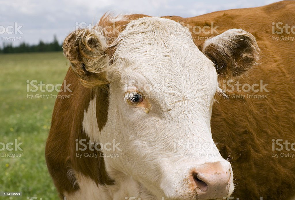 Cow Face Humor royalty-free stock photo