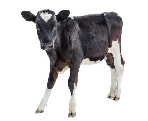 cow farm  animal cow on white background holstein cattle stock pictures, royalty-free photos & images