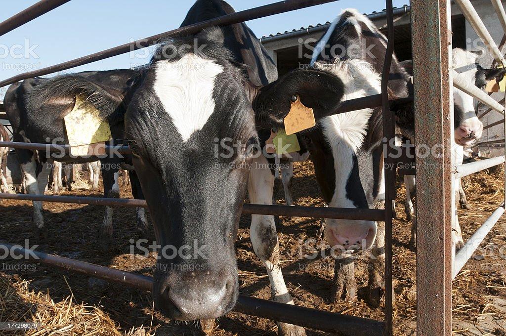Cow farm royalty-free stock photo