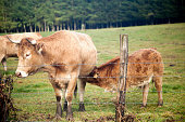 Close up of cow feeding her calf on a green meadow behind a barbed wire fence in Galicia, Spain.