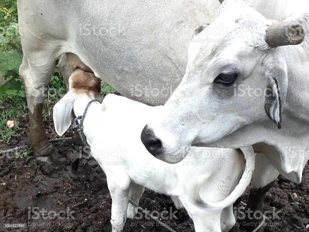 Cow feeding milk to Calves stock photo