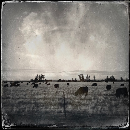 Wyoming farmland, grazing cows, vintage look