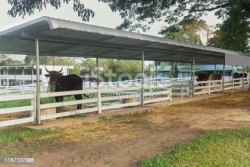 A cow for livestock concept