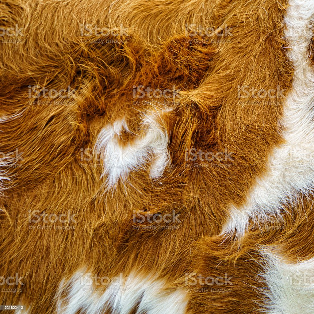 cow fur background stock photo