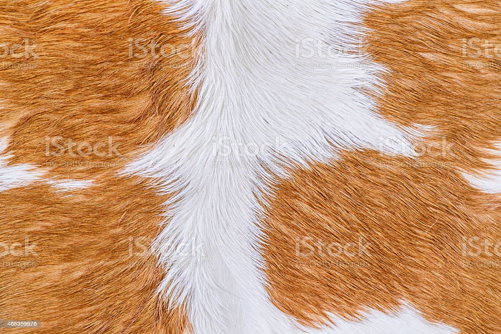 Cow fur (skin) texture. royalty-free stock photo