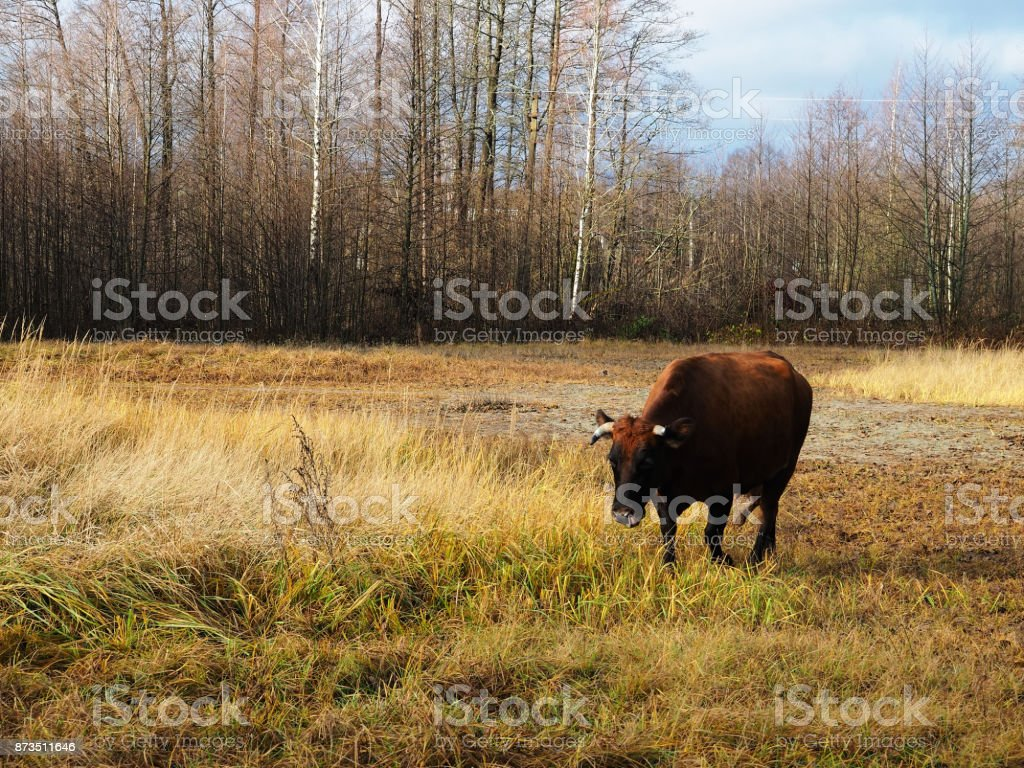 Cow grassing in autumn stock photo