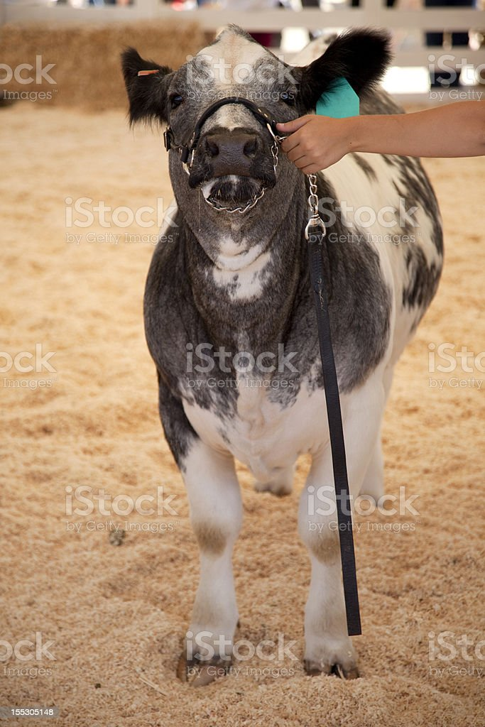 Cow Gray royalty-free stock photo