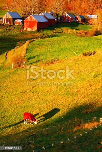 488912426istockphoto A cow grazes in a field on a farm 1169045741