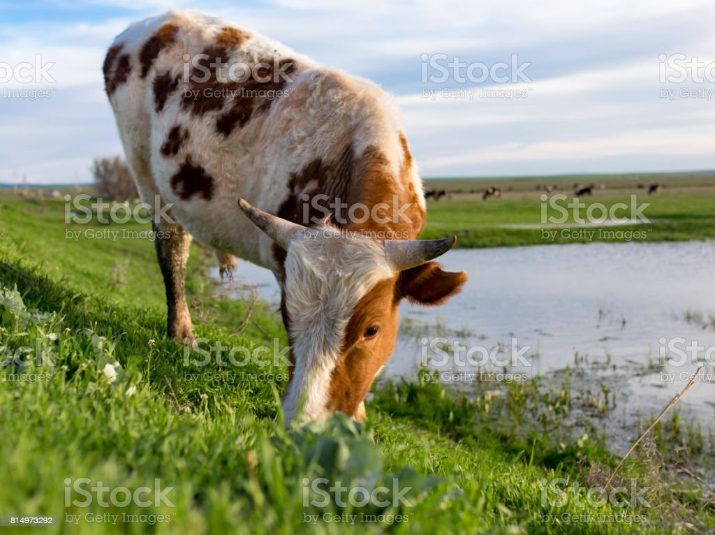 A Cow Grazes On A Green Meadow Near A Lake Stock Photo - Download