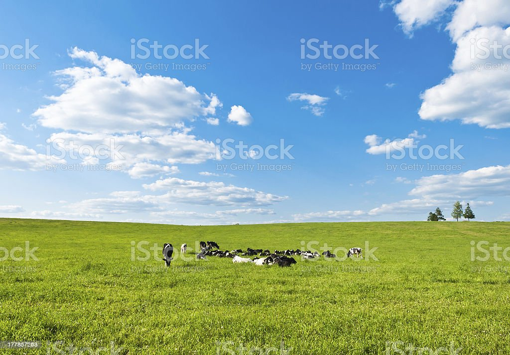 cow grazes royalty-free stock photo