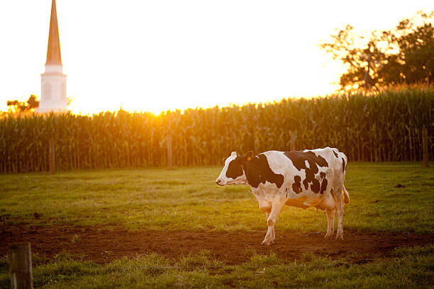 Cow Grazing as Sunset stock photo