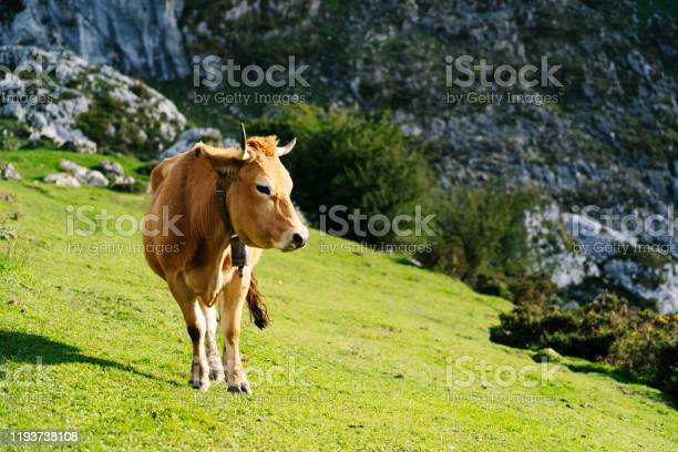 Photo of cow grazing in a green meadow surrounded by mountains