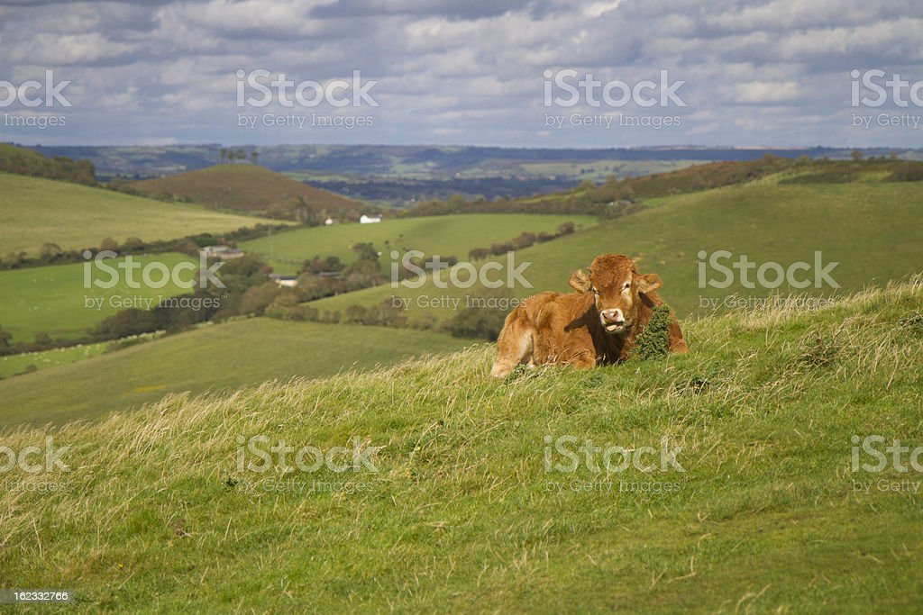Cow grazing in English countryside royalty-free stock photo