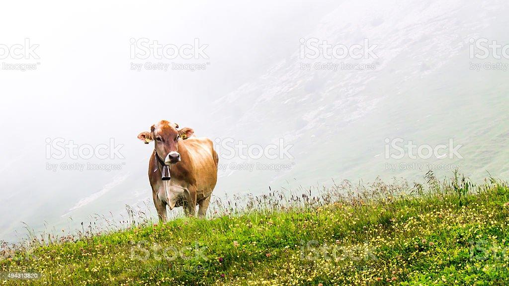 Kühe Grasen im Nebel – Foto