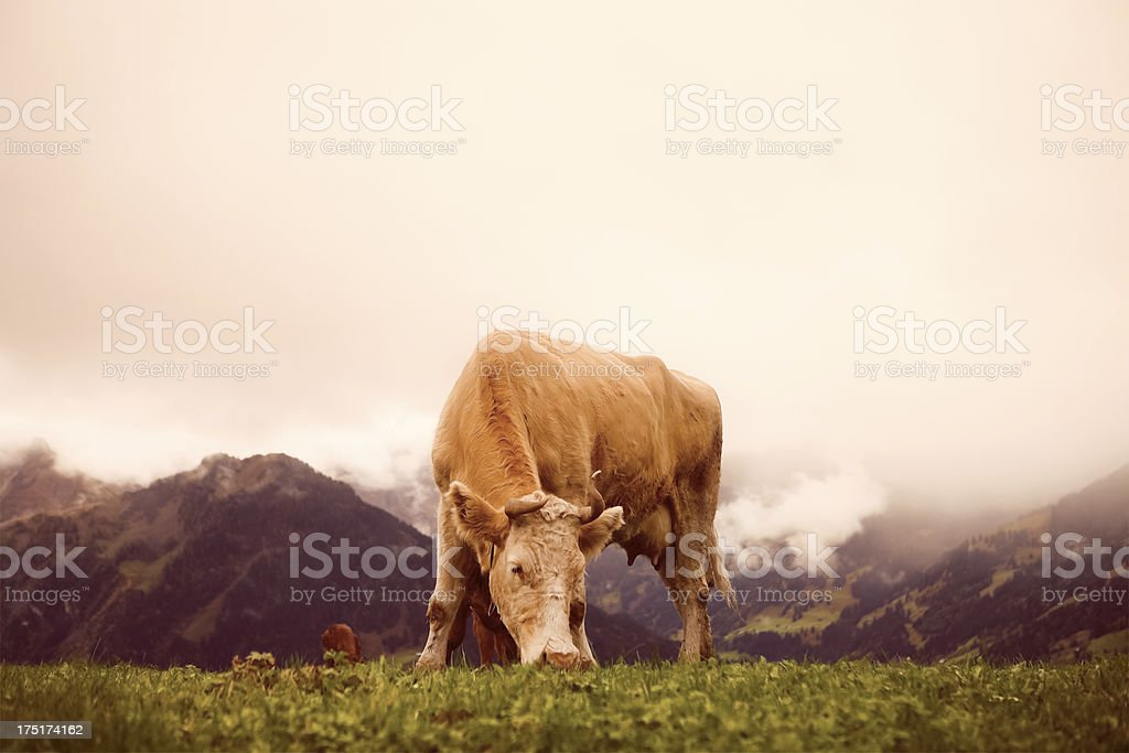 Cow Grazing in the Swiss Alps stock photo