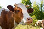 istock A cow grazing on a green meadow on a clear summer sunny day 885905066