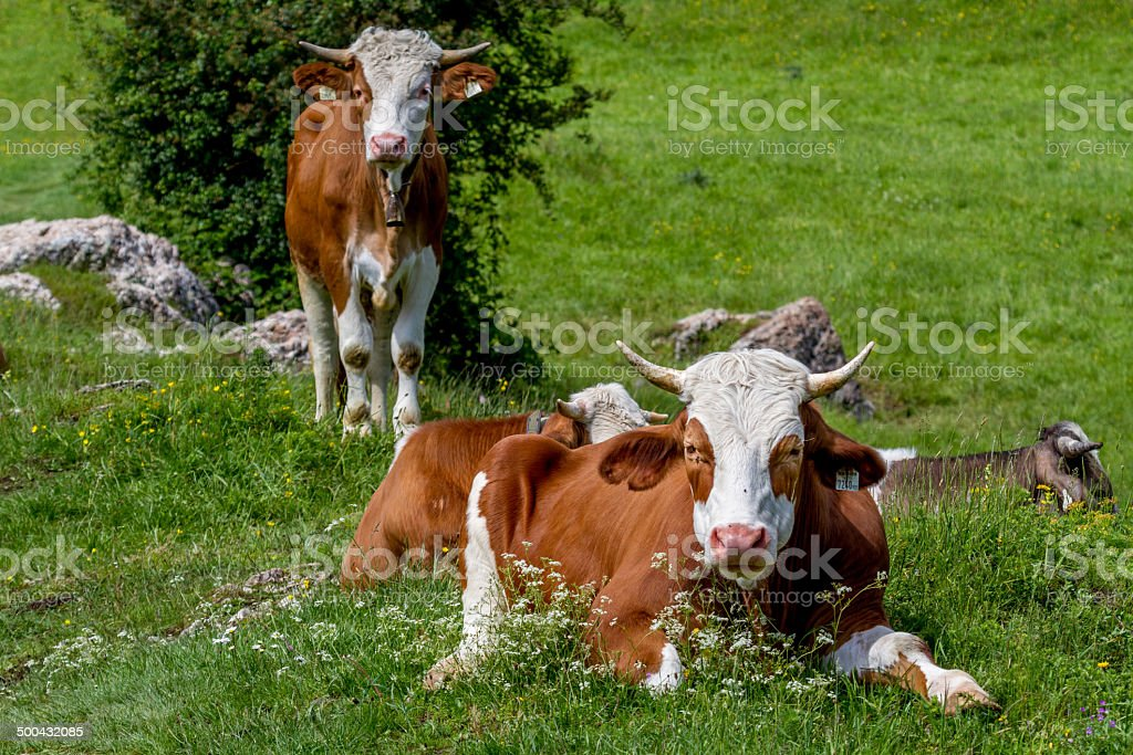 Cow grazing on a green summer alpine meadow. stock photo