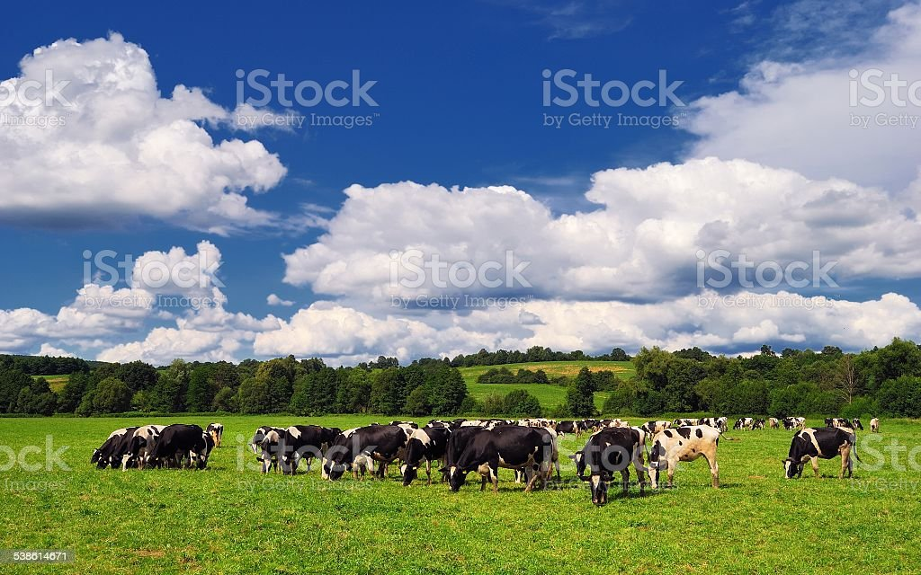 Cow grazing on a green summer meadow in Hungary stock photo