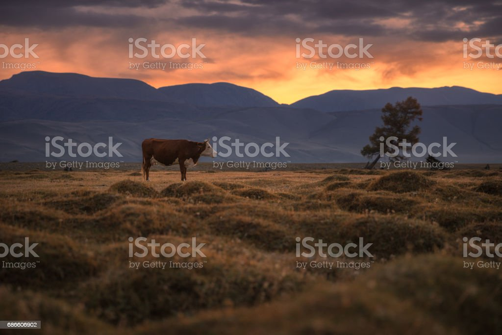 A cow grazing on an autumn field on the background of a setting sun photo libre de droits