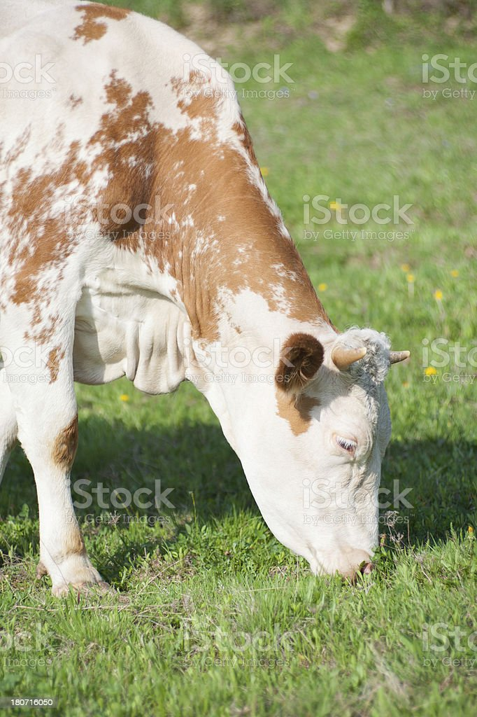 Cow grazing on filed royalty-free stock photo