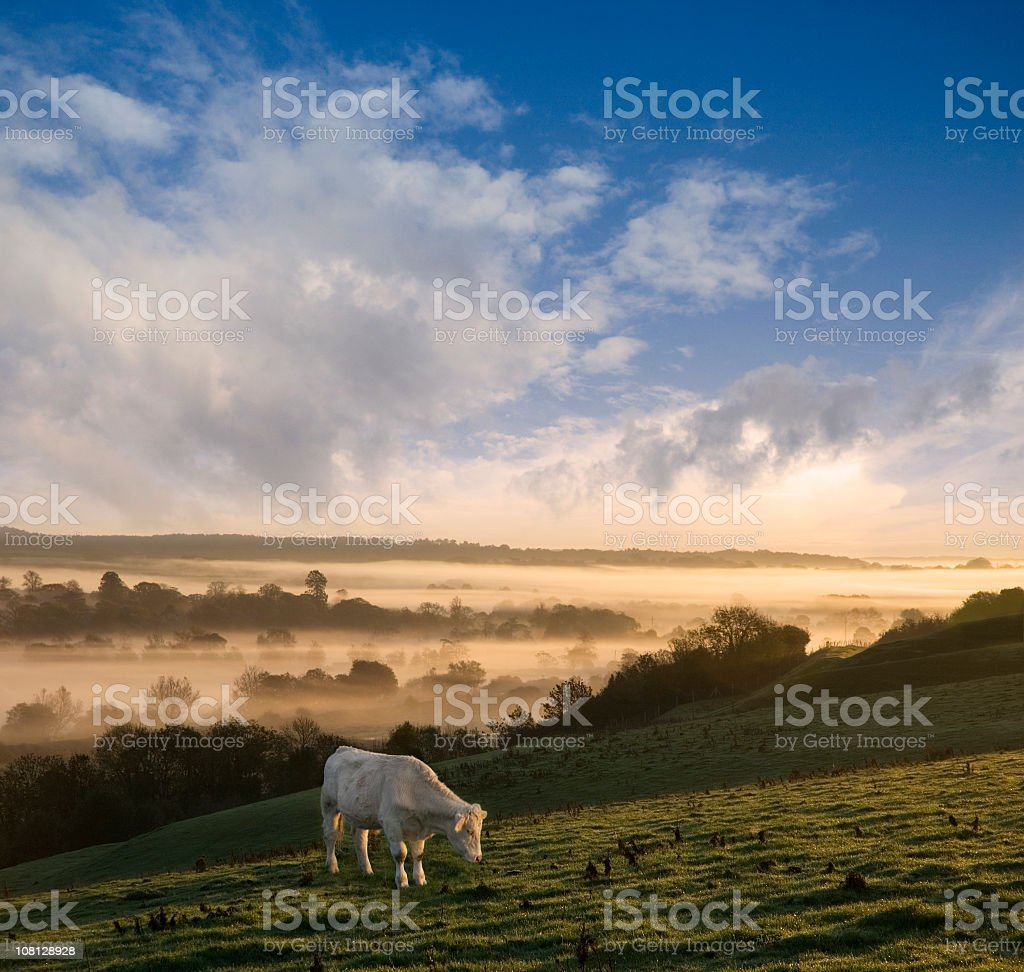 Cow Grazing on Hillside During Foggy Autumn Day royalty-free stock photo