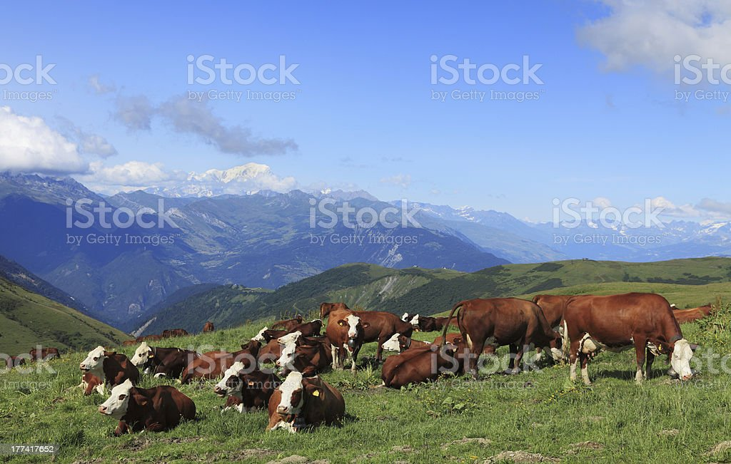 Cow grazing on the alp mountains stock photo