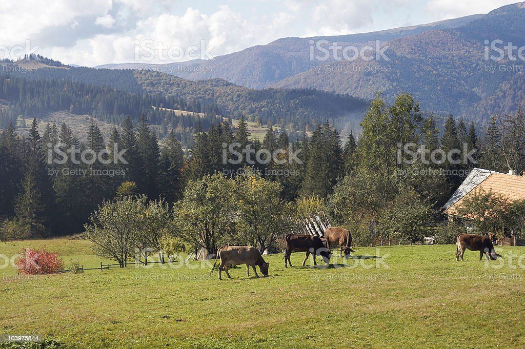 Cow group on pasture royalty-free stock photo