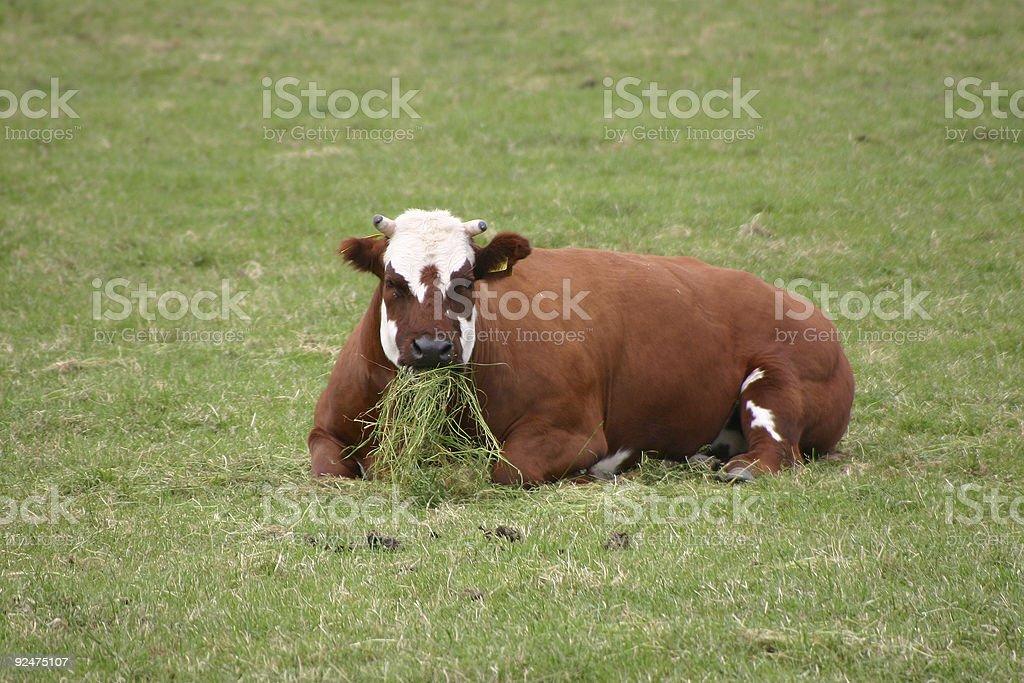 Cow having Dinner royalty-free stock photo